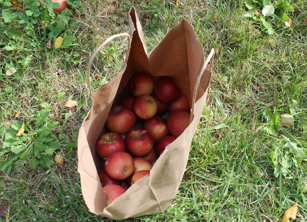 Apples I picked in a bag